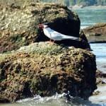aves-migratorias-paraty-112
