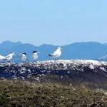 aves-migratorias-paraty-113