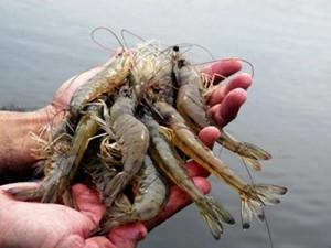 pesca-de-camarao-parati-197