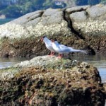 aves-migratorias-paraty-114