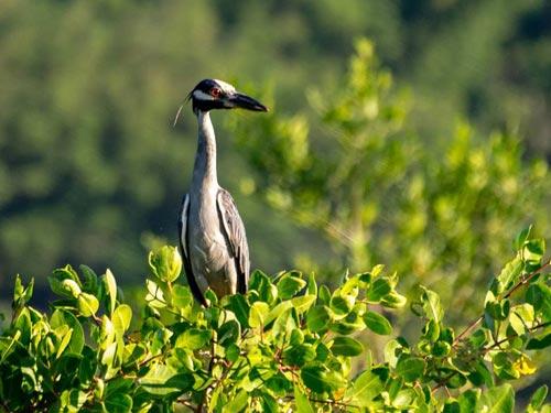 (Nyctanassa violacea) - Savacu-de-coroa / Foto: Gabriel Toledo - Birds Parati